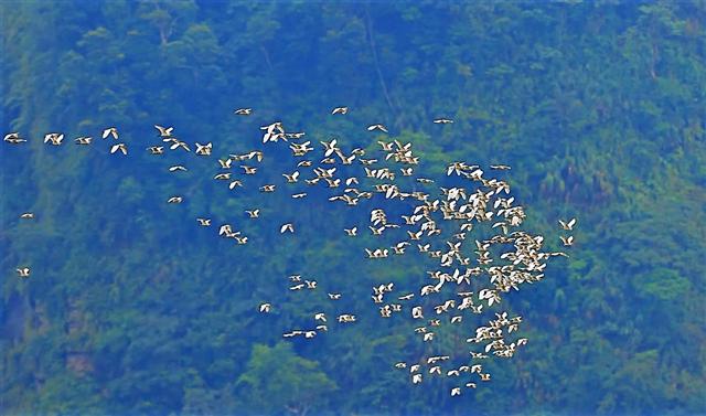 候鳥黃頭鷺結隊飛越草本傳奇前方山谷。(草本傳奇提供)