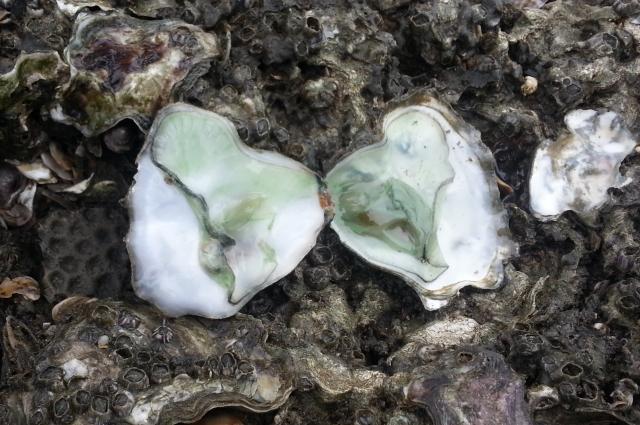桃園海岸受工業區汙染嚴重,大堀溪口綠牡蠣。