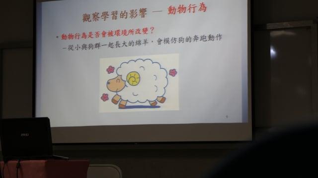 從小與狗群一起長大的綿羊,會模仿狗的奔跑動作。(記者李擷瓔/攝影)