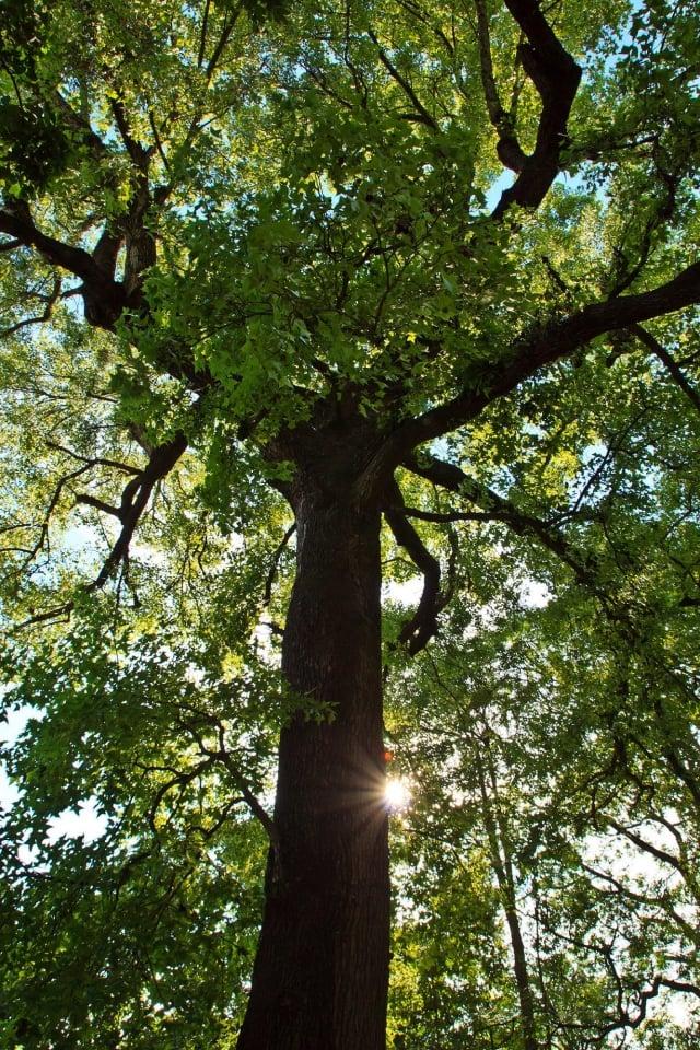 在美國很多地方,砍樹前必須申請許可。(記者王嘉益/攝影)