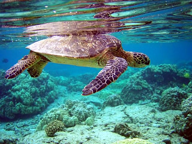 綠蠵龜的主要棲息地分布於澳洲布里斯本附近的大堡礁的系列島嶼,以及其北部的雷恩島。(Brocken Inaglory/維基百科公有領域)