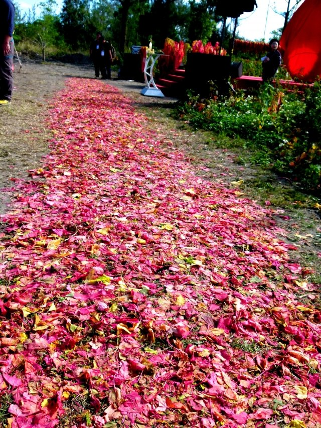 紅藜葉鋪成的紅地毯。
