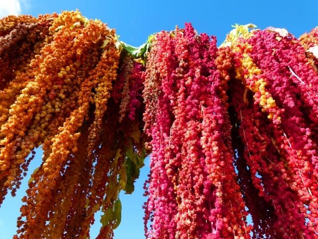 紅藜營養豐富,有穀物界紅寶石之稱。