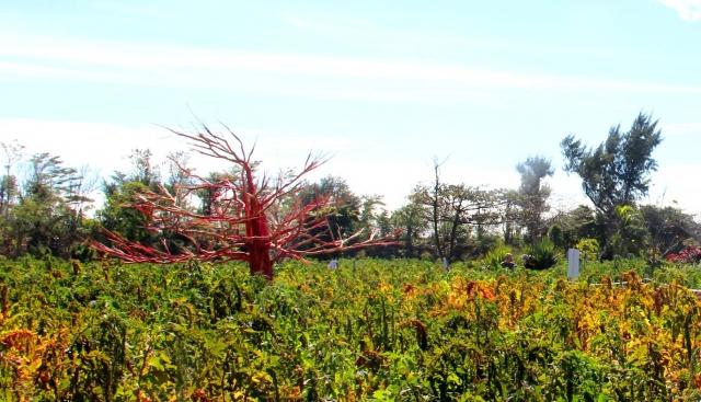 台東森林公園中的紅藜田區和用紅藜梗做的裝置藝術。