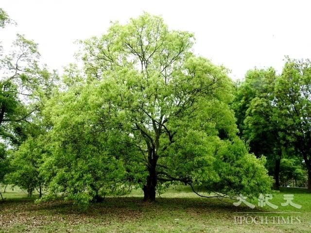 樟樹是台灣原生種,春天開滿淺綠色小花時沒有明顯的落葉,只見整樹茂盛的綠葉,卻芳香撲鼻。(記者賴瑞/攝影)