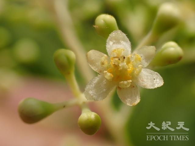 樟樹開花時仍然長滿茂盛的綠葉,必須仔細尋找才能發現無數不起眼的小花,每一朵都香氣濃郁。