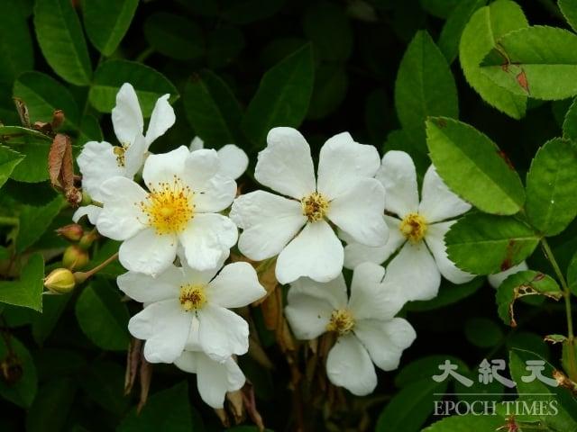 剛開放的大肚山薔薇花金黃色的花蕊聚集在白色的花瓣中央,金燦燦的,很顯眼。