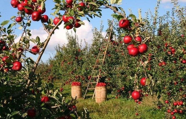 中國海關近日針對從美國進口的新鮮水果加大了檢測力度,拖慢了水果出貨速度,或導致水果變壞。(pixabay.com)