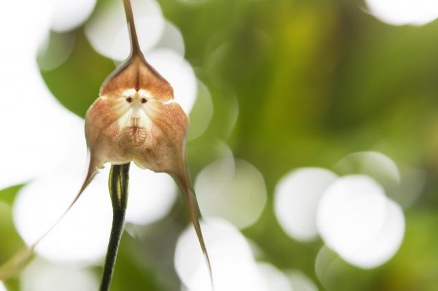 猴臉蘭(Fotolia )