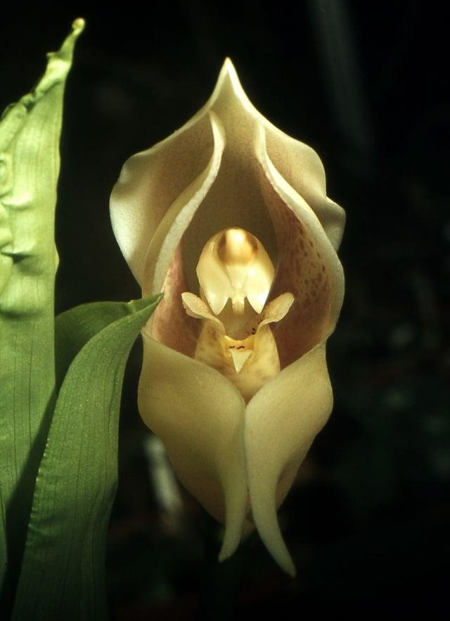 襁褓嬰兒 (Orchi /Wikipedia)