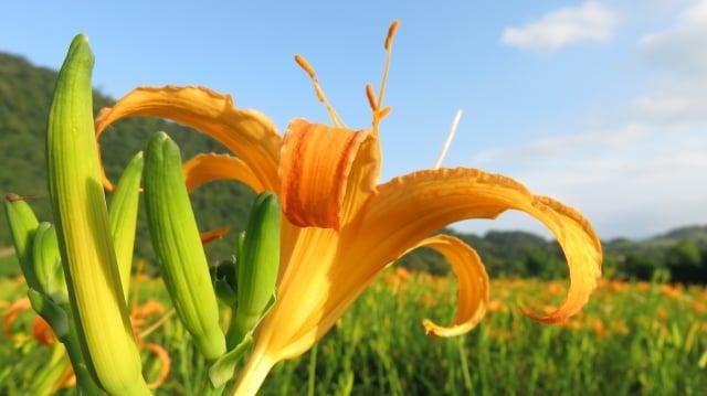 赤科山金黃花海映襯東台灣的藍天白雲,景色真美。(記者吳美蓉/攝影)