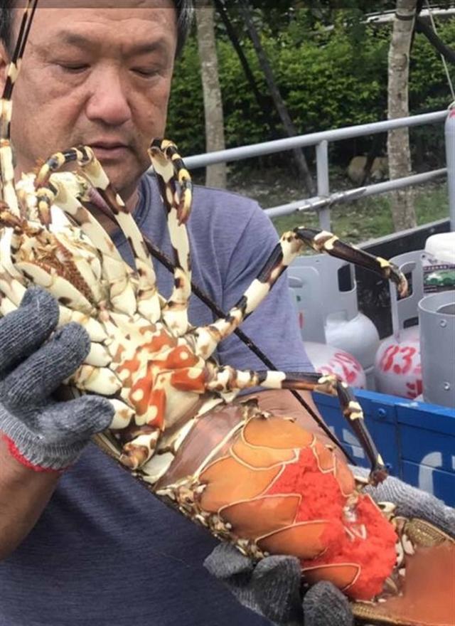 連日幾天大雨,東海岸長濱鄉漁民捕獲一隻4台斤的超大龍蝦,母龍蝦抱著數百萬個卵,海產店買下後,交給文史工作者池祥鈺放生。(池祥鈺提供/中央社)