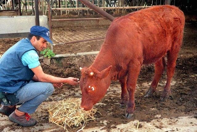一頭紅母牛於8月28日在以色列誕生,可能預示《聖經》中記載的末日的到來。圖為以色列的一頭紅母牛,攝於1997年3月26日。(JO STRICH / AFP)