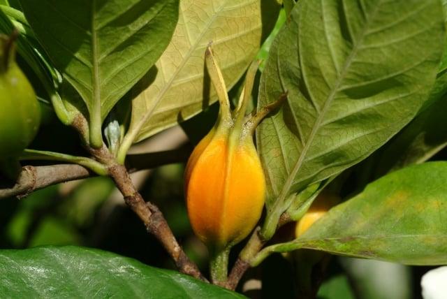 黃梔子果實。(嘉年生化提供)