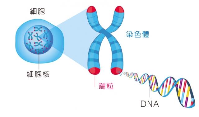 「端粒」(Telomere)是位於染色體末端、控制細胞分裂週期的DNA重複序列。長短和人的壽命緊密相關。(Fotolia)