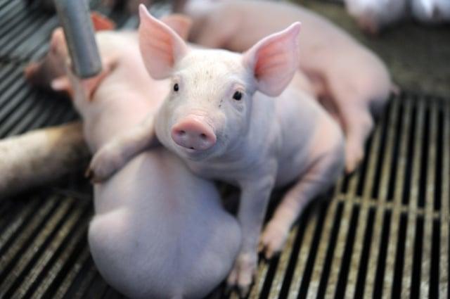 中共為解決進口大豆缺口,竟將歪腦筋動到豬隻飼料上。(Getty Images)