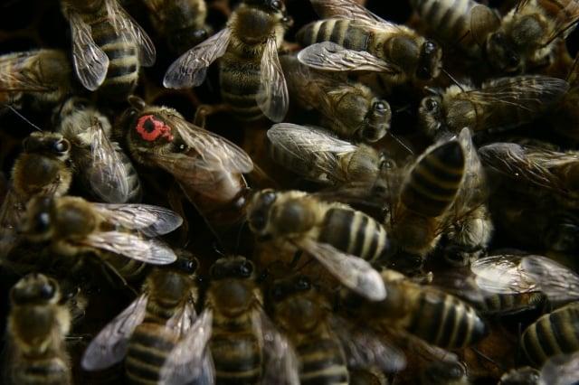 商業養蜂人培育蜂王,選擇的遺傳特質之一就是溫柔。(pixabay)