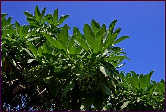 常綠性的小喬木或中喬木,樹皮灰褐色,葉叢生在枝端,全緣,倒卵形,肉質性。(攝影/鄭清海)