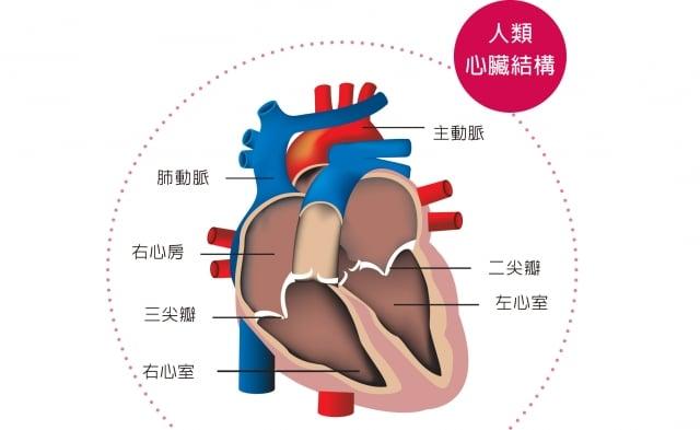 人體心臟結構。(大紀元合成圖)