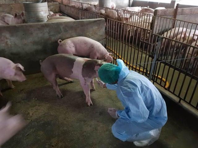 中國大陸非洲豬瘟疫情持續擴散,立院初審通過,若私自帶肉製品回台,最高罰100萬元。週五將送院會三讀,通過後實施。圖為示意圖。(中央社)