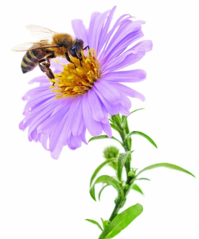蜂蜜屬蜜蜂科昆蟲中華蜜蜂或義大利蜂,在蜂巢中釀成的糖類物質。(Fotolia)