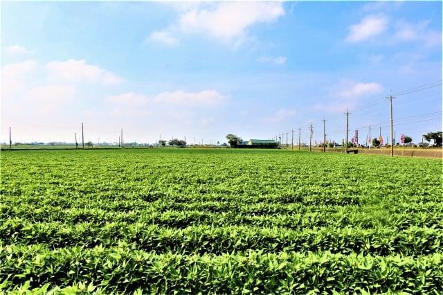 164線兩側番薯田滿眼青蔥,阡陌相連至牛挑灣溪畔。(吳雁門/攝影)