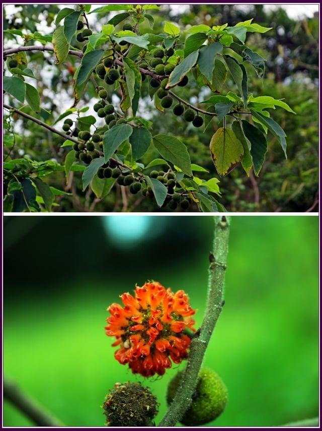 母樹的果實是圓球形,成熟時由綠轉成橘紅色,多汁的果實是鳥兒及各類昆蟲喜愛的甜美的食物,成熟果實可以生食也可以做成果醬。(攝影/鄭清海)