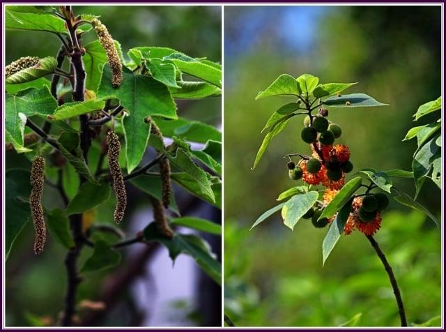嫩葉美味小鹿愛,橙紅多汁蟲鳥來。(攝影/鄭清海)