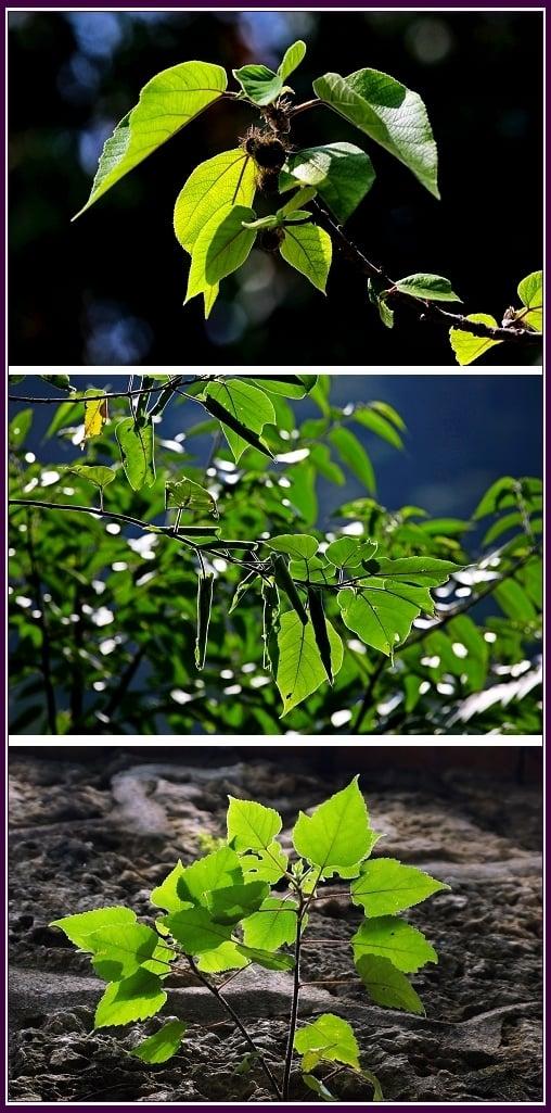 公樹會開花不結果,樹枝治風疹,目赤腫痛,小便不利。(攝影/鄭清海)