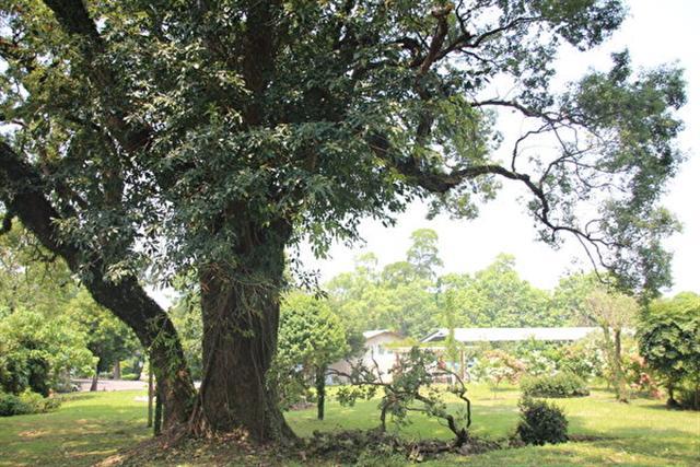 看樹可以降低心理壓力。圖為嘉義水源地內有一棵大樟樹,被嘉義市政府列為珍貴老樹保護。 (中央社)