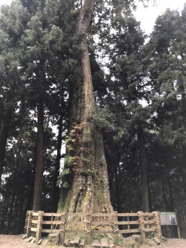 阿里山公路91K處有一顆1600多歲的紅檜巨木。(記者張原彰/攝影)