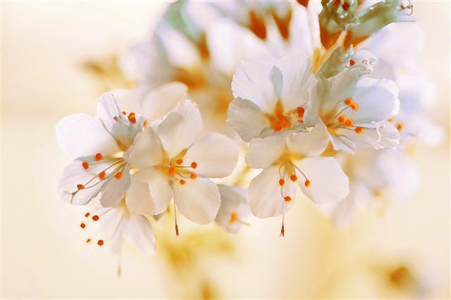 雛櫻泛露仰寒光,雪坡荒地一簇梅。(123RF)