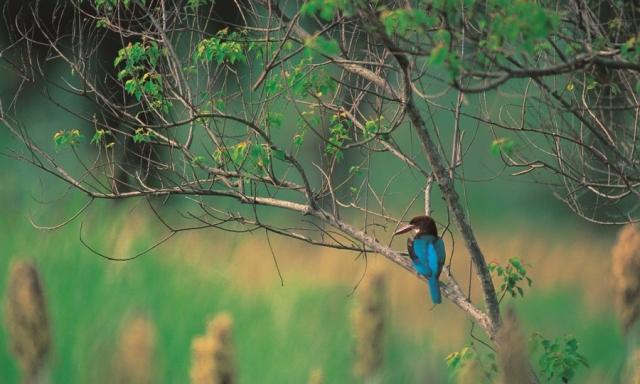 蒼翡翠是台灣地區僅見金門的鳥種。(金門國家公園提供)