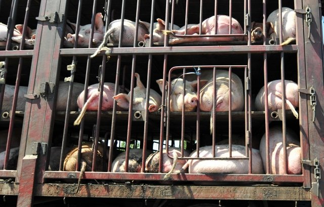 非洲豬瘟在中國蔓延,導致豬肉價格上漲,未來或創新高。(Getty Images)