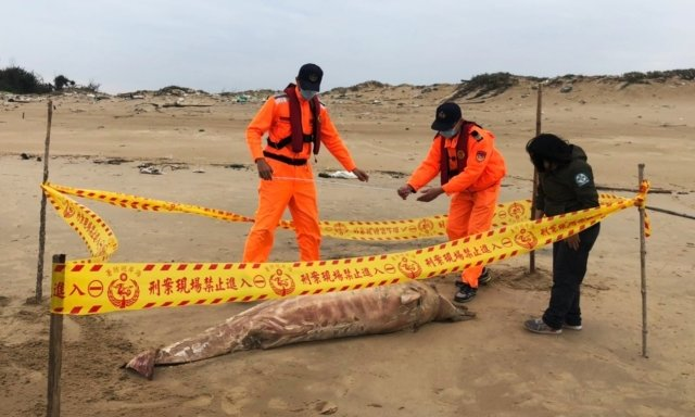 金馬澎分署第九岸巡隊4月2日於金沙鎮E54據點岸際執勤時,在沙灘發現一隻鯨豚屍體。(金門岸巡隊提供)