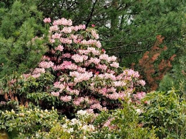 今年玉山國家公園玉山杜鵑大爆發,塔塔加步道周邊已大開六至七成。(玉管處提供)