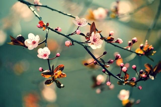 櫻花的花語:生命。看見過這種花的盛開,就可以輕易的體會到她所努力傳遞的熱情,是如此沁人心脾。(123RF)