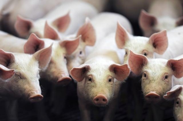 美中談判進入最後關鍵時刻,傳北京有意承諾解除對美國豬肉及家禽的禁令。圖為養豬場示意圖。  (JEAN-FRANCOIS MONIER / AFP)