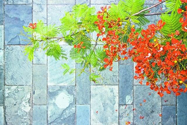 相遇是夏天,到底,分開也是在鳳凰木下。(123RF)