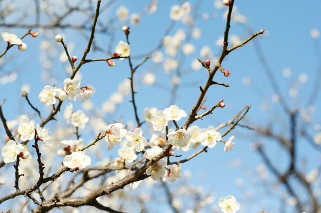 初春令月,氣淑風和,梅披鏡前之粉。(shutterstock)