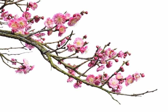 日本和歌詩人大伴旅人所集《梅花歌.序》的觸發,來自 中國東晉書聖王羲之的《蘭亭集序》。(shutterstock)