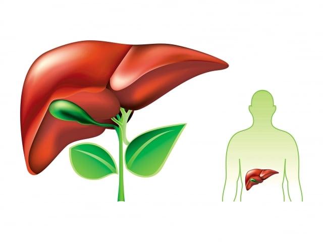 何首烏有肝毒性,其活性成分二苯乙烯苷很可能具有保肝護肝及導致肝損傷的雙重作用。(123RF)