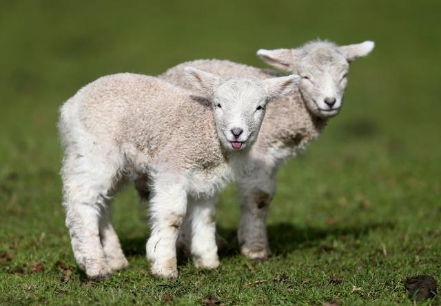 法國小鎮一所小學因學生人數減少,面臨減班,當地人將羊註冊入學抗議。圖為示意圖。( Jason Oxenham/Getty Images )
