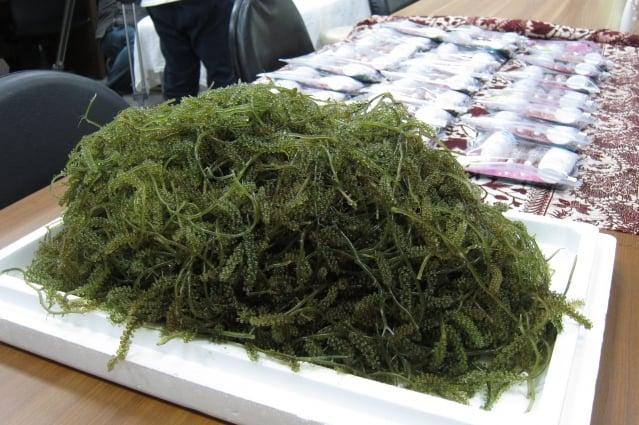 海大助理教授李孟洲突破種源與季節限制,每年可培育小葉蕨藻數公噸。