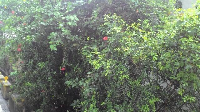 吊燈花適合密植當做綠籬圍牆。