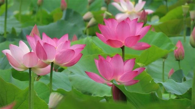 想念故鄉的蓮花,花香卻不入夢來,必是久離蓮田了。原來,蓮花還可以治療鄉愁。(Fotolia)