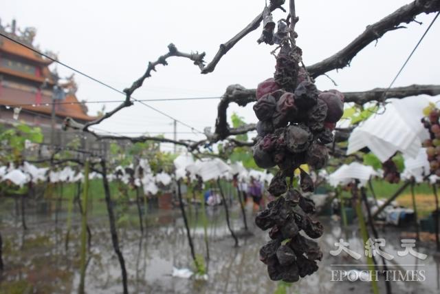 彰化部分葡萄已出現萎果災損。
