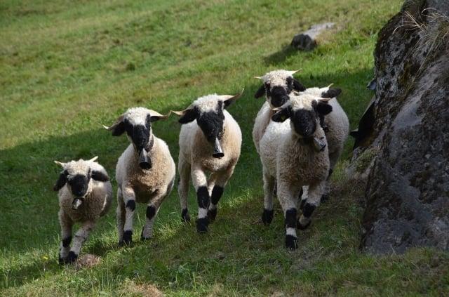 紐西蘭公園中會走動的卡通羊——瓦萊黑鼻羊,時常把遊客驚得開懷大笑,因此獲封「世界上最可愛的羊」。(Mikarapa/ pixabay)