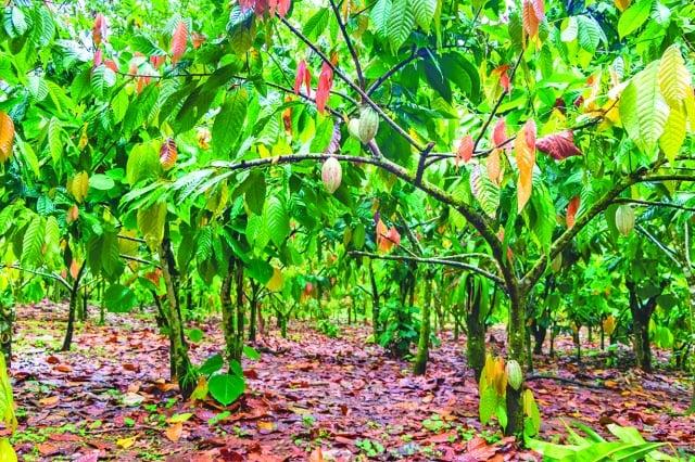 哥斯大黎加的可可種植園。(shutterstock)