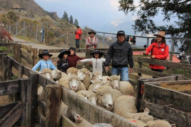 一日牧羊人體驗活動。(清境農場提供)